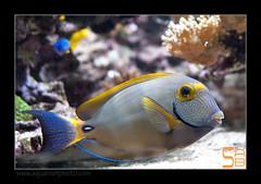 ALAIN2dussumieri6460 (kactusficus) Tags: marine reef aquarium alain captive ecosystem rcifal acanthuridae chirurgien surgeonfish tang acanthurus dussumieri