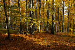 Through beech woods below Velk antoryje (Gregor  Samsa) Tags: czech czechrepublic eskrepublika ceskarepublika cesko esko czechia czechland czechlands bohemia moravia autumn fall october hike hiking walk walking path trail footpath adventure outdoors outdoor woods forest wood tree trees beech beechforest beechtrees beechwoods sunlight sun light velk antoryje velkantoryje