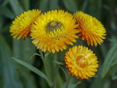 Yellow Strawflowers (PriscillaBurcher) Tags: strawflower siempreviva paperdaisies inmortelle inmortal flordepapel everlasting xerochrysumbracteatum goldeneverlasting l1590625
