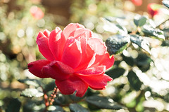8.10.16 (Josh Meek) Tags: dew morningdew rose garden morning mastinlabs portra160