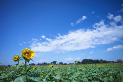 summer (SATAAKI HARAYAMA) Tags: summer sunflower    sky blue