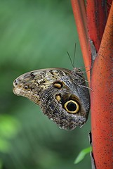 Common Morpho on Red Sealing Wax palm (jungle mama) Tags: commonmorpho morpho butterfly tropicalbutterfly sealingwaxpalm palm redpalm eye fairchildtropicalbotanicgarden fairchildgarden wingsofthetropics ngc