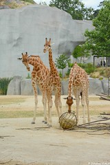 Tiens un truc bizarre ! (Johanna Viala) Tags: girafe pzp parczoologiquedeparis zoodevincennes animaux