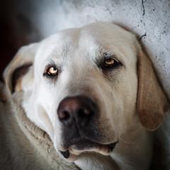 La mirada de Perro chigo (Nicols Letelier V.) Tags: dog perros eos rebele t3 canon 50mm 18 pets mascotas portrait
