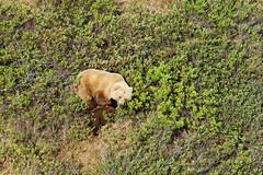 Grizzly family, aerial photo (Jared Hughey) Tags: wild animal wildlife landscape scenery wilderness nature bird mammal research science nationalparkservice beringlandbridgenationalpreserve sewardpeninsula westernarctic northwest alaska