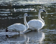Tundra Swan / Trumpeter Swan (David Badke) Tags: colwood bc bird