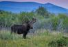 Sunrise Moose (Happy Photographer) Tags: bull moose wildlife nature sunrise arapaho national refuge colorado summer amyhudechek