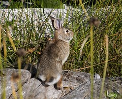 European Rabbit (David Badke) Tags: colwood bc mammal