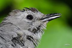 Gray Catbird (jt893x) Tags: 150600mm bird catbird d500 dumetellacarolinensis graycatbird jt893x mockingbird nikon nikond500 portrait sigma sigma150600mmf563dgoshsms songbird specanimal