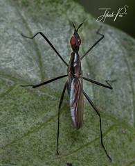 Banana stalk fly (jithupai) Tags: bananastalkfly macro reverselensmacro canon canon70d 50mmf18 fly bangalore wildlife wildlifephotography