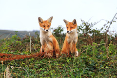 Red Foxes (Fazer44) Tags: red redfox two animals ears wild wildlife isleofwight fox
