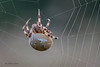 Vierfleckkreuzspinne (Araneus quadratus) Weibchen (AchimOWL) Tags: kreuzspinne echte radnetzspinne araneidae spider panasonic lumix makro macro natur nature tier insekt animals insect spinne gx80 wildlife outdoor textur ngc macrodreams postfocus olympus