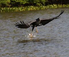 Gavio preto - Urubitinga urubitinga (luizmrocha) Tags: greatblackhawk gaviopreto urubitingaurubitinga luizmrocha avesdopantanal aves birdsofbrazil bird
