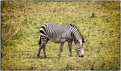 Zebra (wilstony1) Tags: stripes zebra grazing canon eos650d zoo animal
