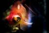 Goldfish in the Dark (photoseven82) Tags: photoseven82 blackbackground aquarium fish redfish pescerosso acquario animal darkness canon canonphoto dark goldfish canon60d 60d