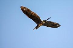 The Wild Great Blue Yonder (brev99) Tags: bird perfecteffects10 ononesoftware greatblueheron bif birdinflight glide ngc highqualityanimals dxooptics cacorrection bluesky