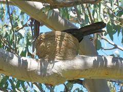 Corcorax melanorhamphos 13 (barryaceae) Tags: bingara nsw australia ausbird ausbirds whitewinged chough corcorax melanorhamphos
