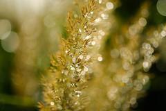 paillettes dores (christophe.laigle) Tags: fleur macro pluie flower fuji scintillement xpro2 xf60mm drops ngc
