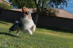 Grace and Strength at Play (Jasper's Human) Tags: australianshepherd chuckit aussie play ball