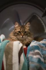 Lint Catcher (MyMazeyCat) Tags: cat kitty kitten furry cute siberiancat drier laundry portrait cateyes