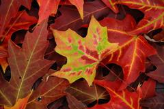 Be Unique (09 24 2016) (PhotoDocGVSU) Tags: fall autumn fallcolor autumn2016 leaves maple westmichigan canon5d3 sigma50500os bigma duttonshadysidepark closeup macro