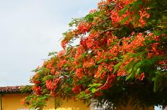 Trinidad, Cuba (heraldeixample) Tags: heraldeixample cuba gent people gente pueblo popular trinidad flors flores flowers fleurs flori fioori arbre árbol tree árvore copac albero