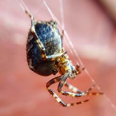 IMG_20160917_170458 (Clara20011) Tags: spider arachnid orb insects entomology bugs macrolens macro