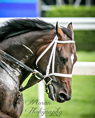 Mokeef (EASY GOER) Tags: horse equine racing sports thoroughbreds canon 5dmarkiii 400mm 56 belmont park races workouts