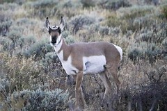 Pronghorn antelope (f/Kat) Tags: gtnp grandtetonnationalpark wyoming autumn fall aspen reflections