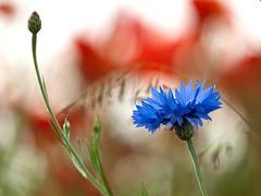 Cornflower (Rafe Abrook Photography) Tags: blue summer flower corn cornfield poppy poppies bloom wildflower rare cornflower endangeredspecies woodlandtrust sandridge heartwoodforest mygearandme mygearandmepremium mygearandmebronze mygearandmesilver bestofblinkwinners