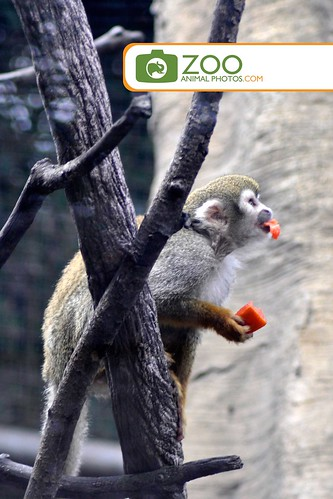Squirrel Monkey eating Papaya