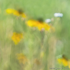 The Summer Meadow (GAPHIKER) Tags: abstract black blur flower art susan bokeh slider eyed noise blackeyedsusan tsc hss happyslidersunday gaphiker