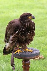 "IMG_5073aw (FlyingV99) Tags: school bird hall flying suffolk eagle display country fair owl falcon 2012 talons prey"" ""birds heveningham ""english falconry"""