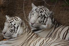 Linmao Yangyu (Olaya Garcia) Tags: parque white blanco canon eos tiger lp tenerife tigris tigre whitetiger loro teneriffe loroparque panthera loropark tigreblanco pantheratigristigris 1000d