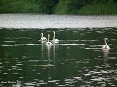DSCF5883 (Abigail Miseldine) Tags: water surrey swans virginiawater wildfowl