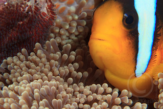 Two band anemone fish with eggs