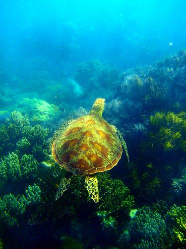 Sea Turtle by dbaist5, on Flickr