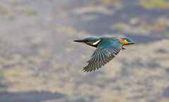 Kingfisher mark 2 (hockeyboy150) Tags: blue orange bird beautiful birds gorgeous kingfisher tophill