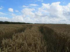 UK - Hertfordshire - Near Baldock - Wheat field (JulesFoto) Tags: uk england hertfordshire ramblers wheatfield baldock capitalwalkers