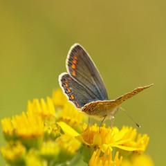 Icarusblauwtje(Polyommatus icarus) (Geziena) Tags: holland macro st closeup klein blauw nederland natuur olympus zomer icarus 70300mm geel vlinder blauwtje rolklaver jacobskruiskruid dagvlinder e620