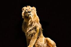 A lion stare