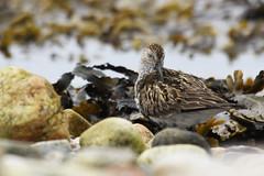 Dunlin- Bird o'th' kelp (Joe Wynn Wildlife Photography) Tags: birds wildlife birding sigma shetland hsm burravoe 120400mm