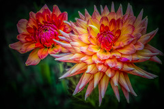 Twin Firepot....... **EXPLORE #249 08/06/2012** (P C Chang) Tags: pink dahlia red summer orange plant flower garden flora blossom bloom bud firepot thegalaxy photosandcalendar excellentsflowers mimamorflowers pcchang thebestofmimamorsgroups flickrstruereflection1 flickrstruereflection2 flickrstruereflection3 flickrstruereflection4 flickrstruereflection5 rememberthatmomentlevel4 rememberthatmomentlevel1 rememberthatmomentlevel2 rememberthatmomentlevel3