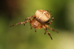 Garden Spider - Araneus diadematus, Garden, Warwickshire (Andy_Hartley) Tags: rememberthatmomentlevel1