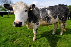 Leazes Park Cow (AndrewH324) Tags: park england newcastle cow cows pasture dairy haymarket northern leazespark newcastleupontyne andrewhorne andrewrichardhorne