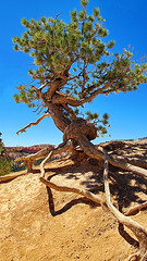 gnarled pine tree- Queens Garden Trail - Bryce Canyon National Park ps (Al_HikesAZ) Tags: park camping usa tree landscape utah nationalpark hiking canyon hike national backpacking backcountry hoodoo bryce twisted gnarled hoodoos brycecanyonnationalpark alhikesaz zb2012 bryce2012