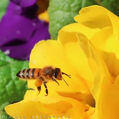 Yellow .. (ZiZLoSs) Tags: macro istanbul bee kuwait ef100mmf28macrousm zizloss almanie abdulazizalmanie canoneos600d