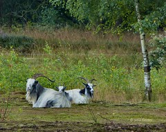 Goats (joeke pieters) Tags: nature animals goats pasture wei twente geiten mygearandme mygearandmepremium 1010115 panasonicdmcfz150