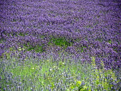 GOC Ickleford 014: Lavender (anemoneprojectors (through the backlog)) Tags: walking countryside hiking walk farm lavender hike hertfordshire herts cadwell lavenderfarm goc ickleford lavenderfield hitchinlavender cadwellfarm gayoutdoorclub z981