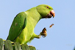 Messy Eater (Beegee49) Tags: rose parrot parakeet ringed autofocus thegalaxy natureplus flickraward mygearandme ringexcellence dblringexcellence flickrstruereflection1 flickrstruereflection2 appliediwatermarkwatermark magicmomentsinyourlife